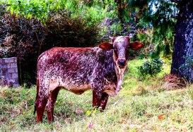 bulwer_cows_kwazulunatal_moniquevanderwalt (2).jpg