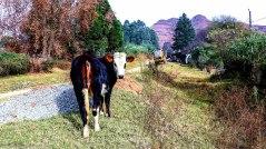 bulwer_cows_kwazulunatal_moniquevanderwalt (5).jpg