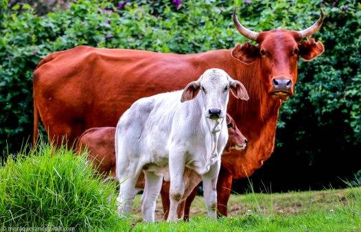 bulwer_cows_kwazulunatal_drakensberg_cottageimvana (10).jpg